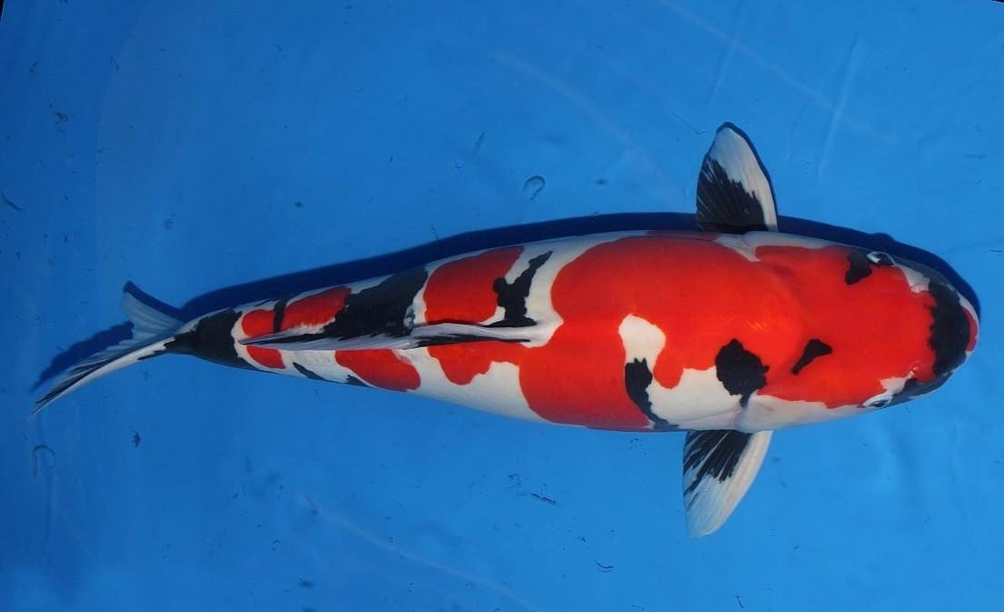 Cá Koi Doitsu koi