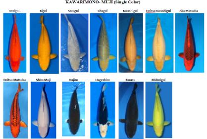 Cá Koi Kawarimono đơn sắc