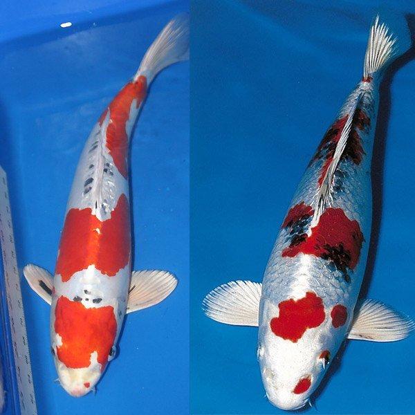Cá Koi Yamato Nishiki