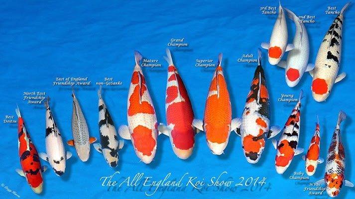 Chọn cá Koi cho người mới