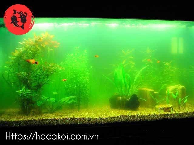 bể cá bị rêu, tảo xanh